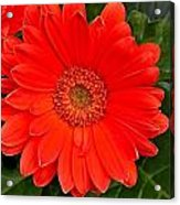 Red Daisy Acrylic Print by Michael Sokalski