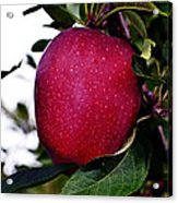 Red Delicious Acrylic Print
