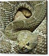 Red Diamond Rattlesnake 3 Acrylic Print