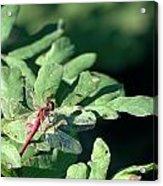Red Dragon On Compound Leaf Acrylic Print