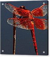 Red Dragon Acrylic Print