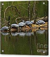 Red-eared Slider Turtles Acrylic Print