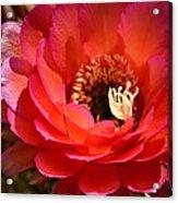 Red Elegance Acrylic Print