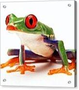 Red-eye Tree Frog 1 Acrylic Print