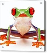 Red-eye Tree Frog 2 Acrylic Print by Lanjee Chee
