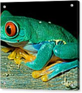 Red Eye Tree Frog Acrylic Print