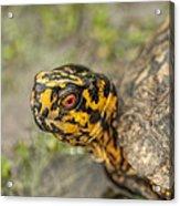 Red Eyed Alabama Box Turtle - Terrapene Carolina Acrylic Print