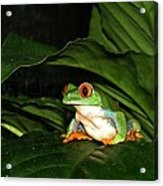 Red Eyed Green Tree Frog Acrylic Print
