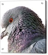 Red-eyed Pigeon Acrylic Print
