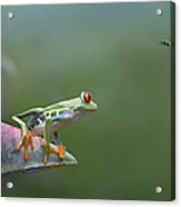Red-eyed Tree Frog Eyeing Bee Fly Acrylic Print by Tim Fitzharris