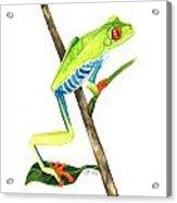 Red-eyed Treefrog From La Selva Acrylic Print