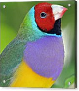 Red Faced Gouldian Finch Acrylic Print