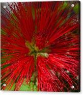 Red Fairy Duster Calliandra Californica Acrylic Print