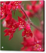 Red Fairy Trumpets Acrylic Print