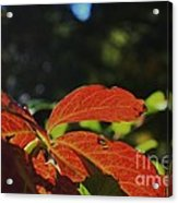 Red Fall Leaves Close Up Acrylic Print