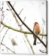 Red Finch In Snow Acrylic Print