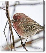 Red Finch Acrylic Print