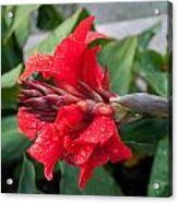 Red Flower After The Rain Acrylic Print