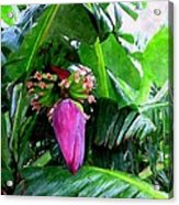 Red Flower Of A Banana Against Green Leaves Acrylic Print