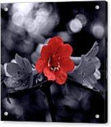 Red Flower Petals Acrylic Print