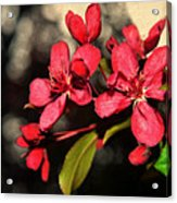 Red Flowering Crabapple Blossoms Acrylic Print