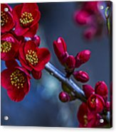 Red Flowering Quince Acrylic Print