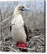 Red-footed Booby Acrylic Print