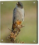 Red Footed Falcon Falco Vespertinus 1 Acrylic Print