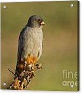Red Footed Falcon Falco Vespertinus 4 Acrylic Print