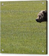 Red Fox  And Grizzly Bear Acrylic Print