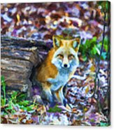 Red Fox At Home Acrylic Print