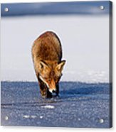Red Fox Crossing A Frozen Lake Acrylic Print
