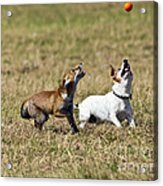 Red Fox Cub And Jack Russell Playing Acrylic Print by Brian Bevan