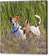 Red Fox Cub With Jack Russel Acrylic Print