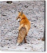 Red Fox Egg Thief Acrylic Print