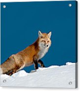 Red Fox Acrylic Print by Gary Beeler