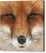 Red Fox Gaze Acrylic Print