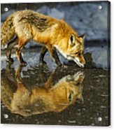 Red Fox Has A Drink Acrylic Print
