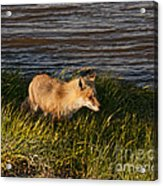 Red Fox Hunting The Edges At Sunset Acrylic Print