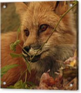 Red Fox In Autumn Leaves Stalking Prey Acrylic Print
