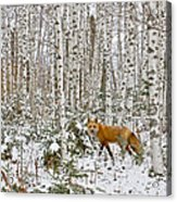 Red Fox In Birches Acrylic Print