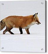 Red Fox In Deep Snow Acrylic Print