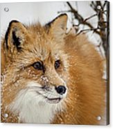 Red Fox In Snow Acrylic Print