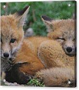 Red Fox Kit Stays Alert Acrylic Print