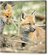 Red Fox Kits Acrylic Print