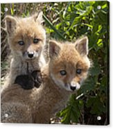 Red Fox Kits Playing Alaska Acrylic Print