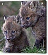 Red Fox Kits Acrylic Print