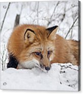Red Fox Making Dinner Plans Acrylic Print