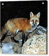 Red Fox - Piercing Eyes Acrylic Print