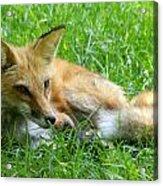 Red Fox Resting Acrylic Print